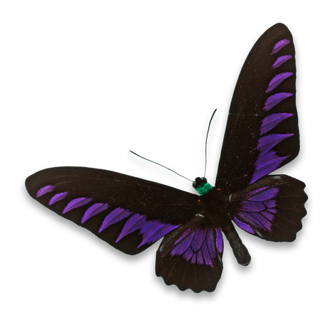 entomological: Beautiful black and purple butterfly isolated on white background