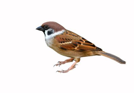 흰색 배경에 참새 새
