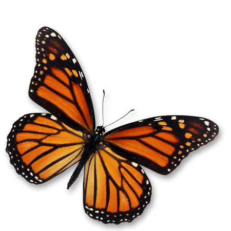 Beautiful monarch butterfly isolated on white background. Stock Photo