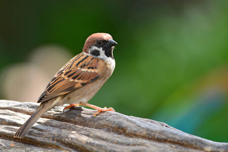 Eurasian Tree Sparrow bird sitting on log