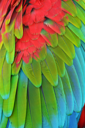 green winged macaw: Close up of Red and Green winged Macaw feathers