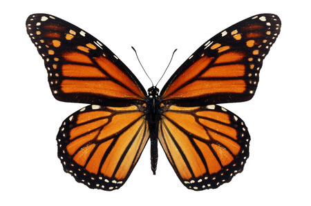Beautiful monarch butterfly isolated on white background. Foto de archivo