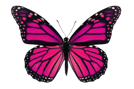 Pink monarch butterfly isolated on white background.