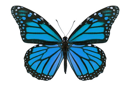Blauwe monarch vlinder geïsoleerd op een witte achtergrond. Stockfoto