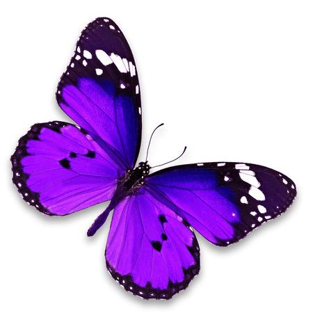 mariposas volando: Hermosa mariposa p�rpura aislado en el fondo blanco