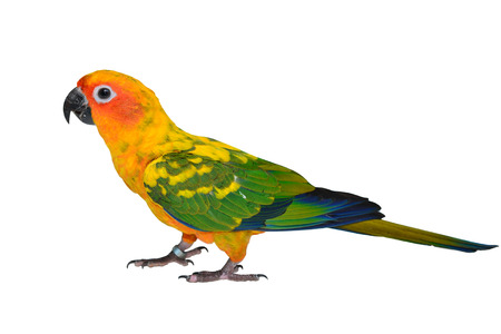 Sun Conure Parrot bird isolated on white background photo