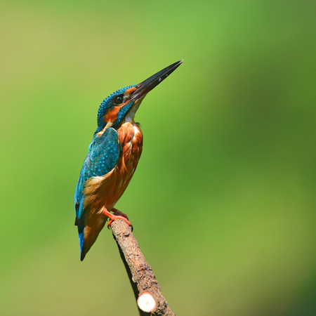 A beautiful Kingfisher bird, male of Common Kingfisher (Alcedo athis) sitting on a branch, side profile Stock Photo