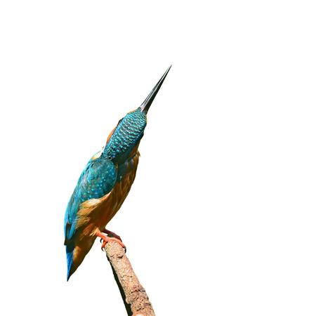 alcedo athis: A beautiful Kingfisher bird, male of Common Kingfisher (Alcedo athis) sitting on a branch, side profile Stock Photo