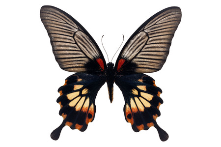 forewing: Beautiful black and red butterfly (Great Mormon, Papilio memnon) isolated on white background.
