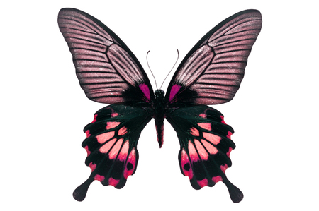 forewing: Beautiful black and pink butterfly isolated on white background. Stock Photo