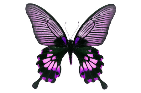 forewing: Beautiful black and purple butterfly isolated on white background.