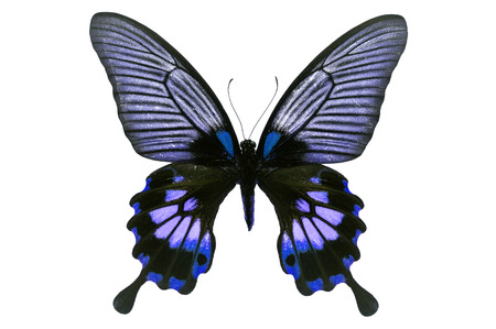 forewing: Beautiful black and blue butterfly isolated on white background.
