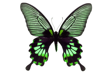 forewing: Beautiful black and green butterfly isolated on white background. Stock Photo