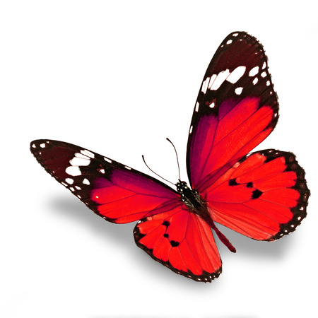 Beautiful red butterfly flying isolated on white background