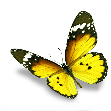 Beautiful yellow butterfly flying isolated on white background