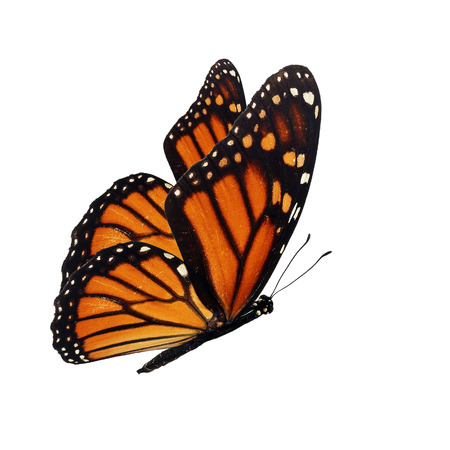 Beautiful monarch butterfly flying isolated on white background.