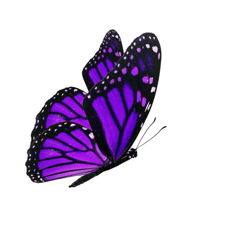purple butterfly: Beautiful purple butterfly flying isolated on white background