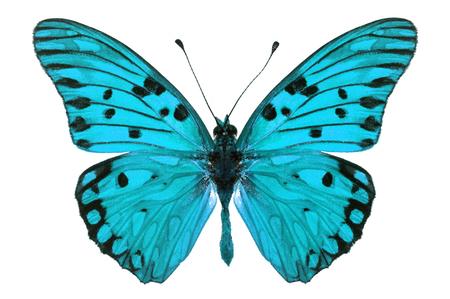 mariposa azul: Mariposa azul hermoso aislado en el fondo blanco.