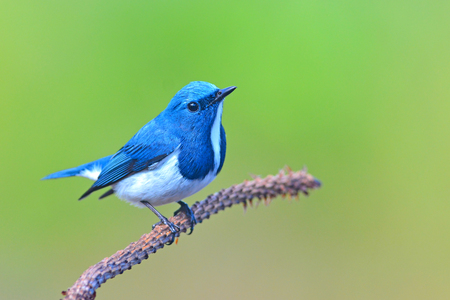 ultramarine: Beautiful colorful bird (Ultramarine flycatcher) perching on a branch Stock Photo