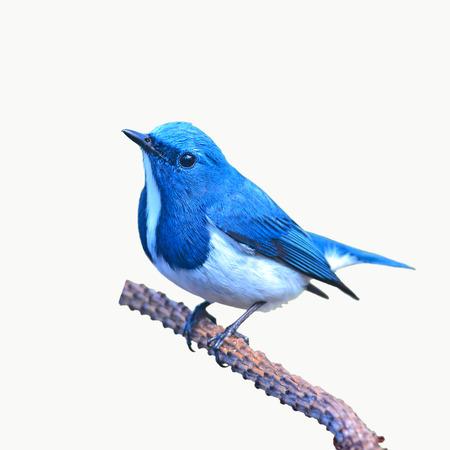 Pássaro colorido bonito (Ultramarine flycatcher) empoleira-se em uma filial no fundo branco