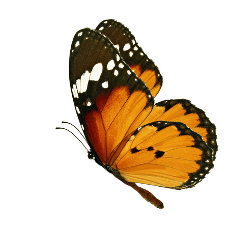 美しいオレンジ色の蝶の分離の白い背景を飛んで