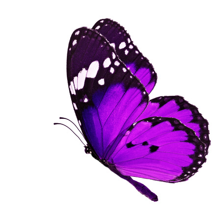 Beautiful purple butterfly flying isolated on white background