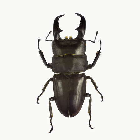 Black stag beetle isolated on white background 스톡 콘텐츠