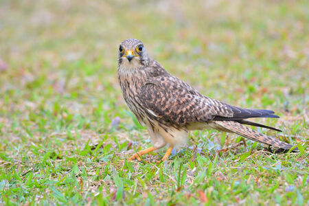 falco: Common Kestrel (Falco tinnunculus) bird catching insects.