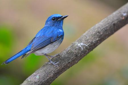 Hainan Blue Flycatcher (Cyornis hainanus) bird Perching on the branch photo