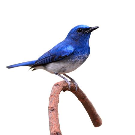 Hainan Blue Flycatcher (Cyornis hainanus) bird perching on a branch on white background photo