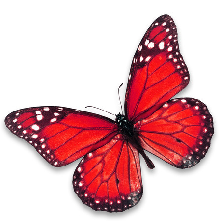north american butterflies: Beautiful red butterfly isolated on white background.