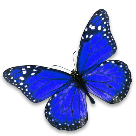 north american butterflies: Beautiful blue butterfly isolated on white background. Stock Photo