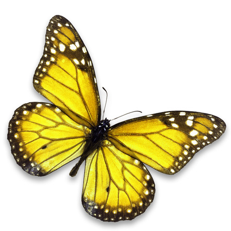Beautiful yellow butterfly isolated on white background.