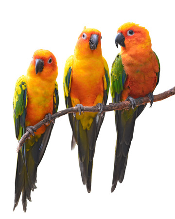 Sun Conure Parrot bird perching on a branch, white background