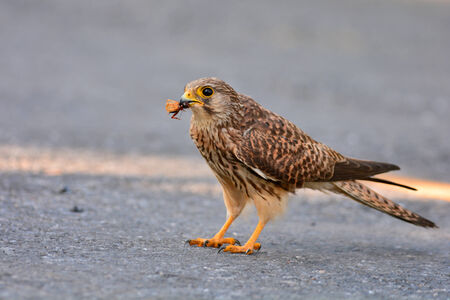 falco: Common Kestrel  (Falco tinnunculus) bird catching insects. Stock Photo