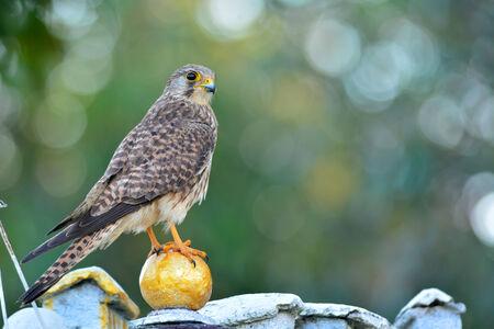 falco: Common Kestrel (Falco tinnunculus) bird.