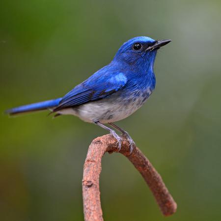 Hainan Blue Flycatcher (Cyornis hainanus) bird perching on a branch photo
