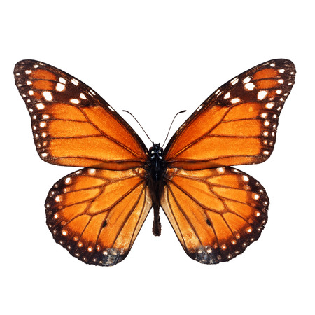 north american butterflies: Beautiful monarch butterfly isolated on white background. Stock Photo