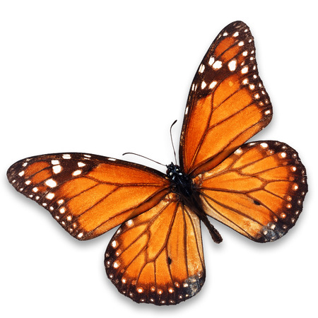 Beautiful monarch butterfly isolated on white background. Banque d'images