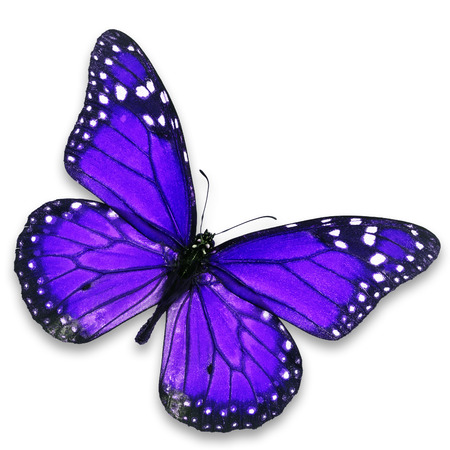 north american butterflies: Beautiful purple butterfly isolated on white background.