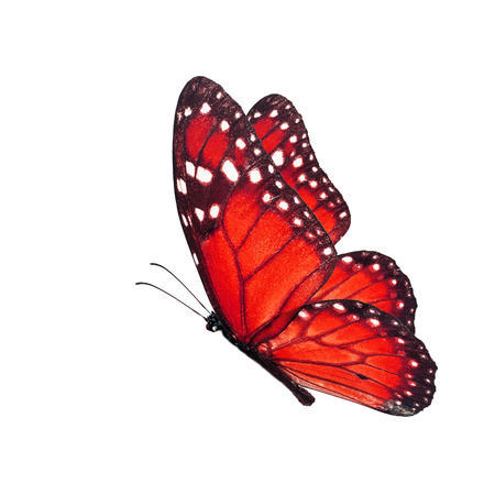 north american butterflies: Beautiful red butterfly flying isolated on white background. Stock Photo