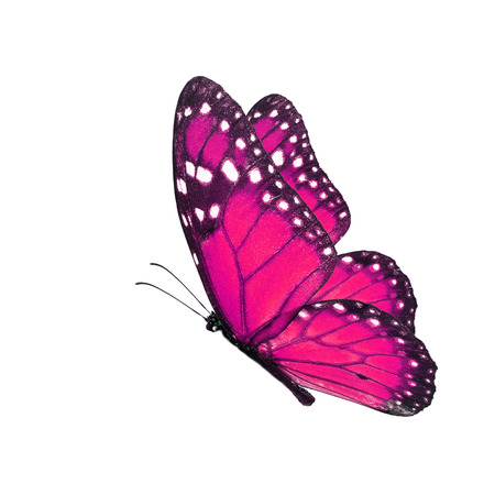 north american butterflies: Beautiful pink butterfly flying isolated on white background.
