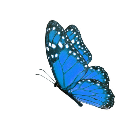 north american butterflies: Beautiful blue butterfly flying isolated on white background.