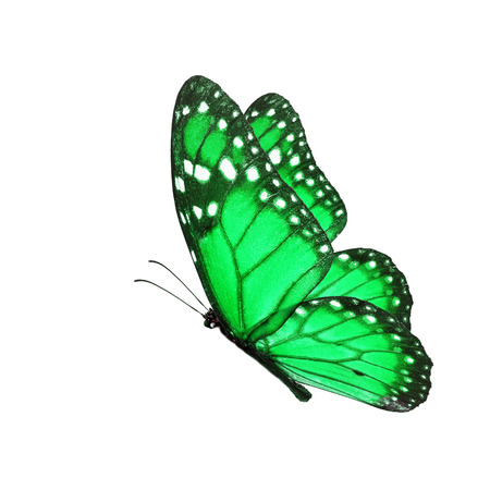 north american butterflies: Beautiful green butterfly flying isolated on white background.
