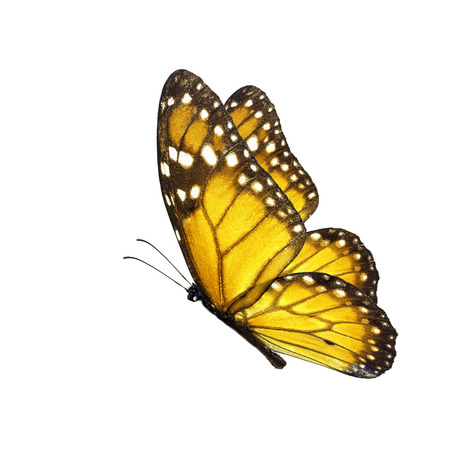 north american butterflies: Beautiful yellow butterfly flying isolated on white background.