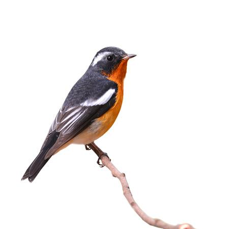 prin: Mugimaki papamoscas pájaro posado la rama, Fiicedula mugimaki, fondo blanco