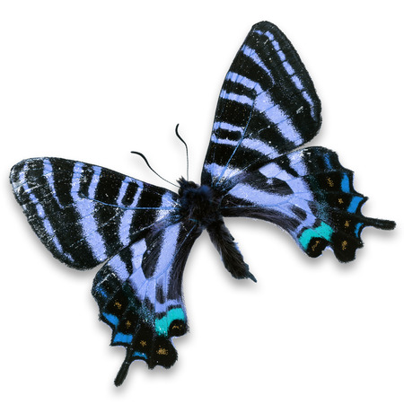north american butterflies: Beautiful colorful butterfly isolated on white background.