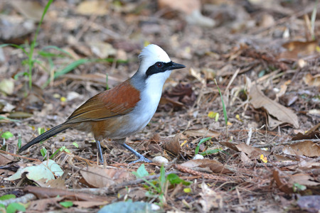 white crested laughingthrush: Beautiful White-crested Laughingthrush bird (Garrulax leucolophus) from Thailand