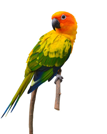Beautiful Sun Conure bird perching on a branch isolated on white background.