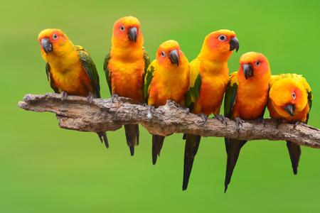 Seis de Sun Conure loro perching pájaro en una rama